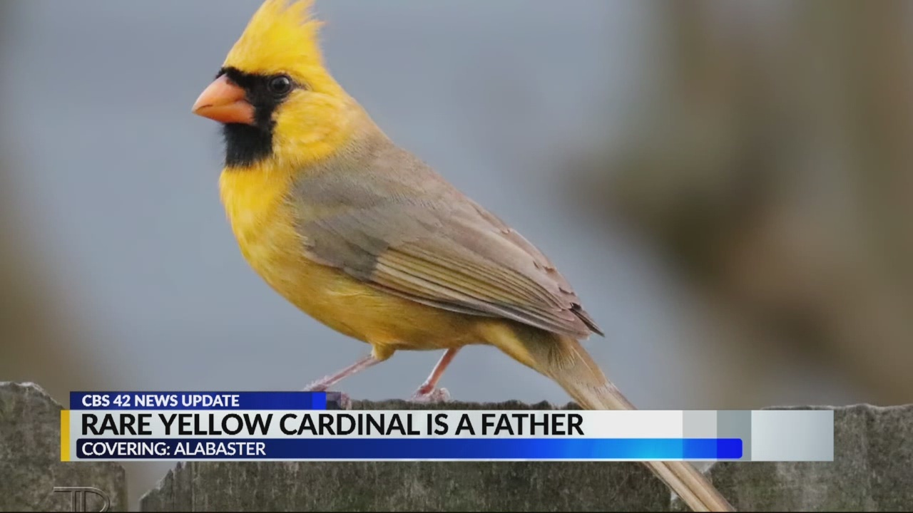 Yellow_cardinal_is_a_dad_0_20180604124116-842137438