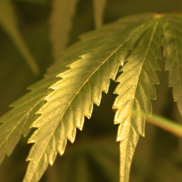 MARIJUANA leaves_1552660418840.jpg.jpg
