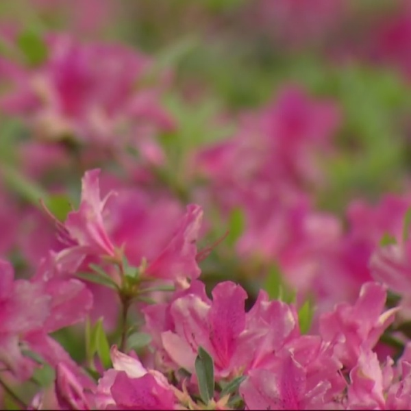 """""""Out There...Somewhere"""": Azaleas will help ANWA play prettier"""